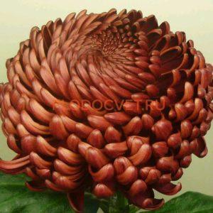 НОВИНКА Хризантема крупноцветковая 'Bigoidi Red' Бигуди Ред