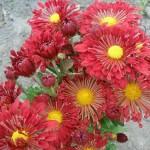 Хризантема корейская Червоны витрыла