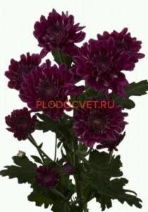 Chrysanthemum Journey purple. Хризантема крупноцветковая Жорни пурпл. 80-90/15см
