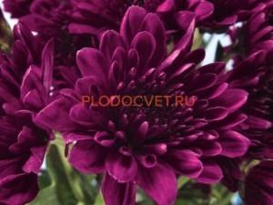 Chrysanthemum Journey purple. Хризантема крупноцветковая Жорни пурпл.