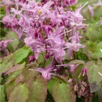 epimedium_lilafee-Горянка крупноцветковая Лилафи