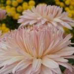Хризантема корейская Фламинго