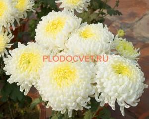 Хризантема крупноцветковая Фред Шусмит.