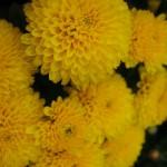Хризантема корейская Гели