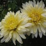 Хризантема корейская Гибрид 10-2011