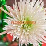 Хризантема крупноцветковая Анастасия Белая.