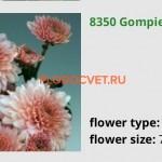 xrizantema-gompi-pink