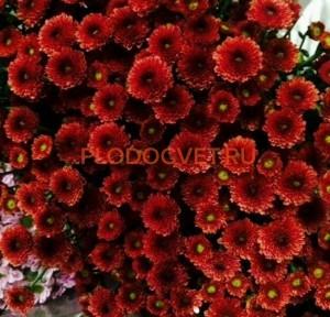 Хризантема Сантини Калимера ред (темно -красная).