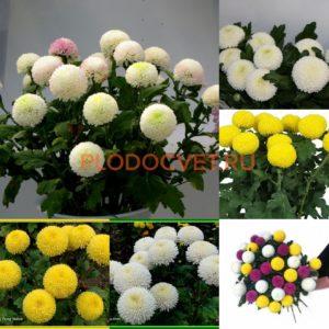Хризантема Пин-Понг еллоу и белый .