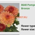Хризантема Помпон бронз. 60/5. Идеальный для срезки.