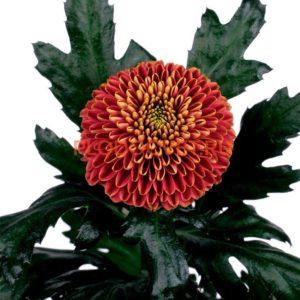 """Хризантема индийская одноголовая 'Zodiac Bronze' (Chrysanthemum Indicum Grp geplozen 'Zodiac Bronze """". Высота 90см, цветок 16см. С сентября."""