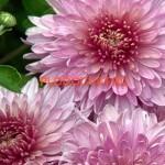 Хризантема корейская Хризантема Мариэтта. 70/10. Август. Идеальна для срезк