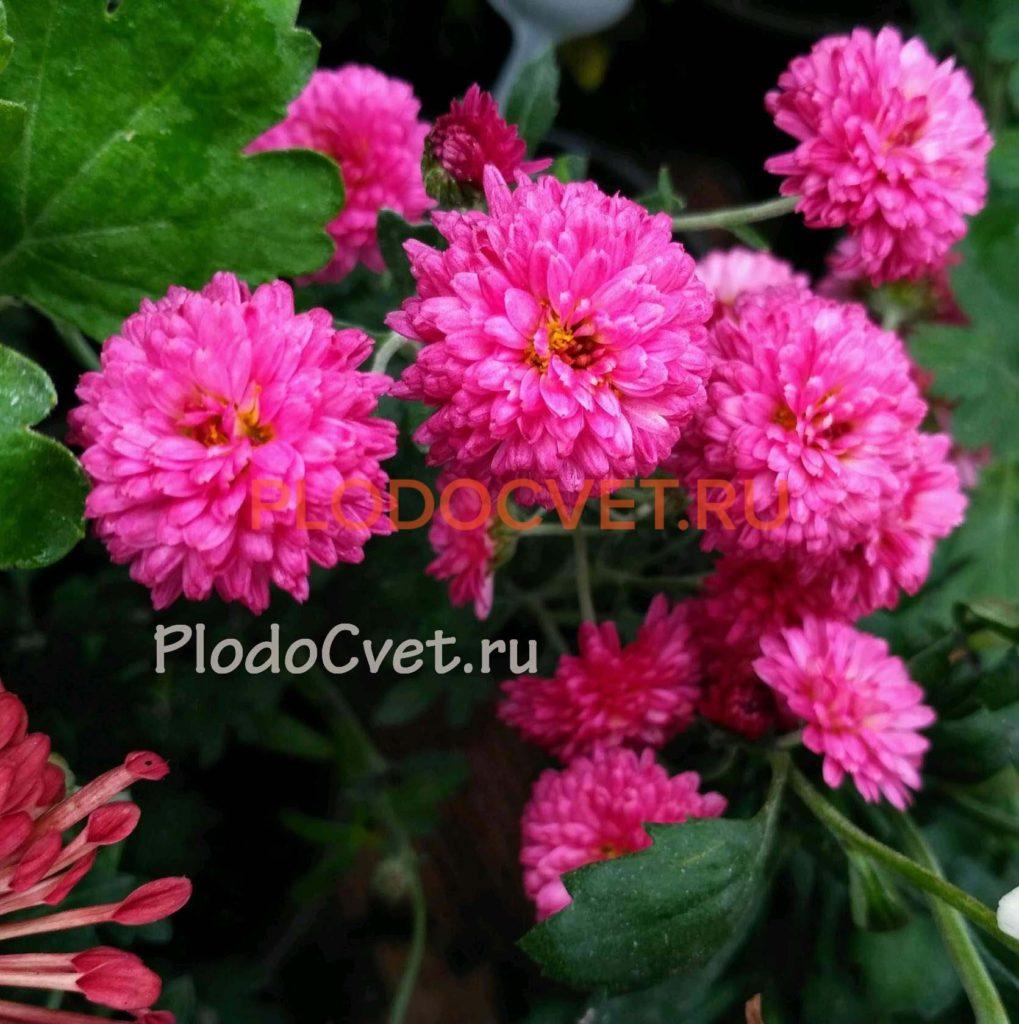 Хризантема корейская Крыхитка (Крошечка). 35/ 3 см. Август