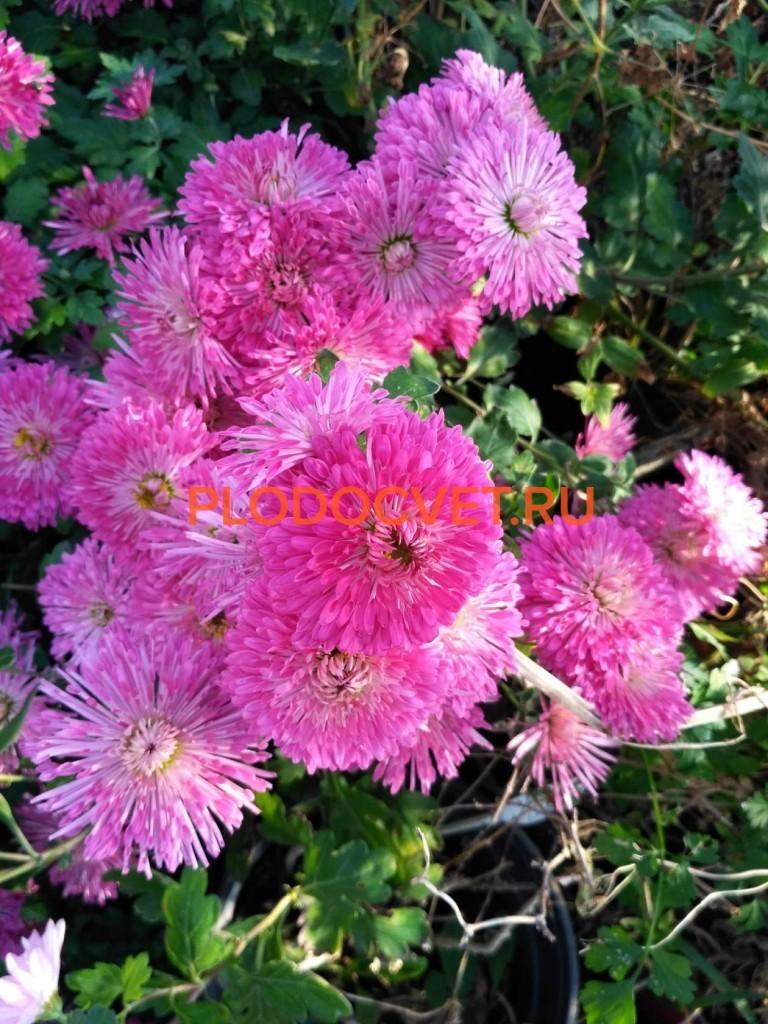Хризантема корейская Лана,