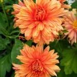 Хризантема корейская Метелица оранжевая60/ 8. Начало сентябр