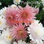 Хризантема корейская Метелица розовая. 60/8. Начало сентябр