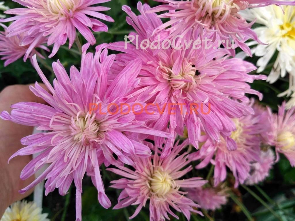 Хризантема корейская Перлынка лиловая. 50/10 см, сентябрь.