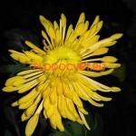 Хризантема корейская Полет шмеля.