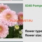 Хризантема корейская Помпон пинк. 60/5. Август. Идеальный для срезки.