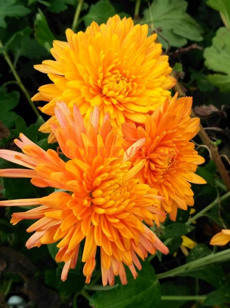 Хризантема корейская Скифское золото. Август
