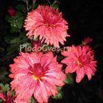 Хризантема корейская Цвет папороти. 45/8. Август.