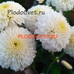 Хризантема Натали Белая