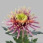 Хризантема крупноцветковая Балтазар ( Balthazar) . Высота 90см, цветок 20см. С сентября.