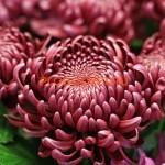 chrysanthemum 'Bigoudi Purple'. Хризантема крупноцветковая Бигуди Парпл.