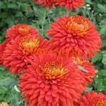 Хризантема крупноцветковая Эскорт Пот (Escort Pot).