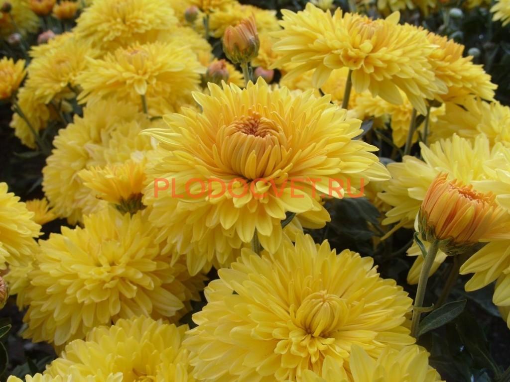 Хризантема крупноцветковая Эскорт еллоу.