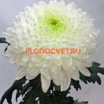 Хризантема крупноцветковая МАГНУМ.