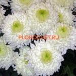 Хризантема крупноцветковая МАГНУМ. 90/22см. Начало октября