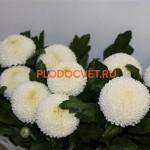 Хризантема крупноцветковая Пин-Понг Белый.
