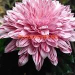 Хризантема крупноцветковая Пип (Pip).
