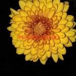 Хризантема крупноцветковая Тувалу