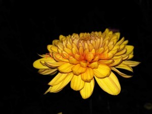 Хризантема крупноцветковая Тувалу.