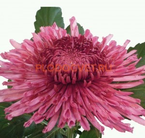 chrysanthemums westland regal. Хризантема крупноцветковая Вестланд Регал.