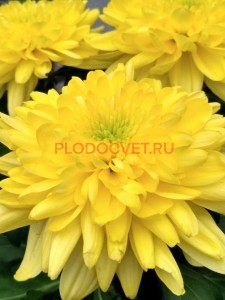 Хризантема крупноцветковая Зембла еллоу (желтая).