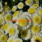 Хризантема веточная Пума белая.