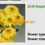 Хризантемы Беппи Еллоу