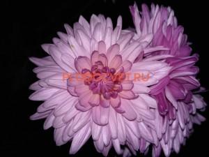 Хризантема крупноцветковая Мондо