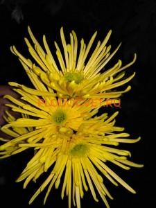 Хризантема веточная Анесси Лимон Ø13см .сентябрь.