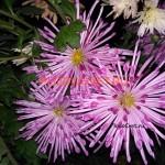 Хризантема корейская Олина.
