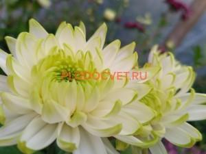 Хризантема крупноцветковая Зембла Лайм
