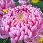 Хризантемы горшечные крупноцветковые описание