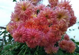 Хризантема корейская Улыбка осени