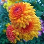 Хризантема веточная Лоллипоп еллоу,