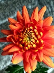Хризантема крупноцветковая Борнхолм Бронз