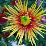 Хризантема крупноцветковая Сафина