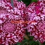 Хризантема крупноцветковая Gilbert Leigh Purple Гилберт Лигт Пурпл